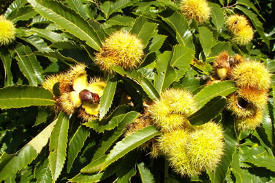 actuele_planten_maart_fruit_tamme_kastanje