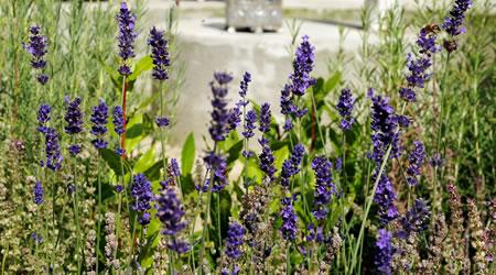 tuinplant_vd_maand_april_lavendel_2