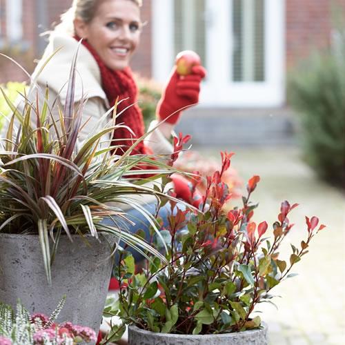20141001_tuinplant_vd_maand_oktober_photinia - kopie