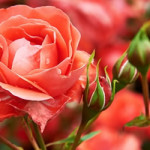 tuinplant_vd_maand_mei_rozen